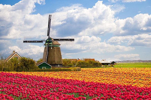 windmill-on-tulip-field-holland-Windmill On Tulip Field, Holland