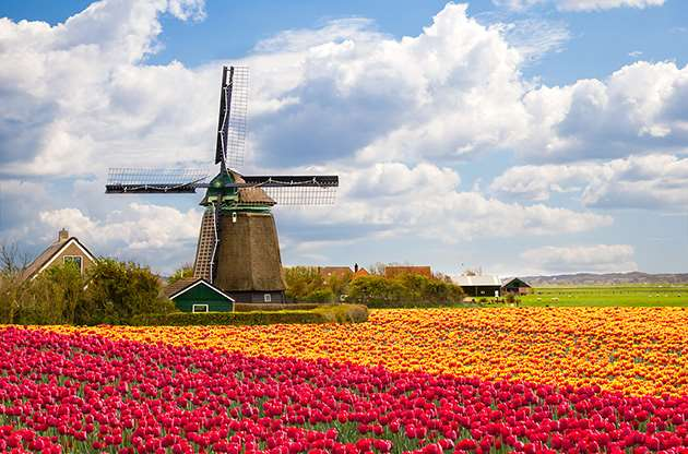 windmill-on-tulip-field-holland-Windmill On Tulip Field, Holland
