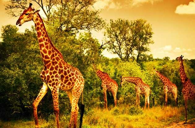 african-giraffes-nairobi-African Giraffes Nairobi