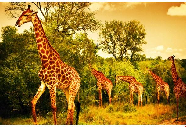 African Giraffes Nairobi