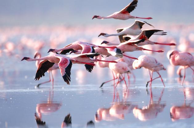 the-lesser-flaming-lake-nakuru-national-park-The Lesser Flaming Lake Nakuru National Park
