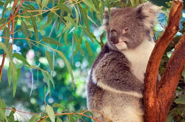 Koala Western Australia-Koala Western Australia