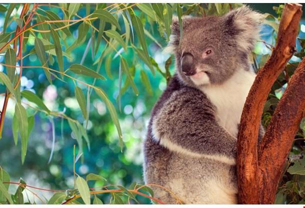 Koala Western Australia