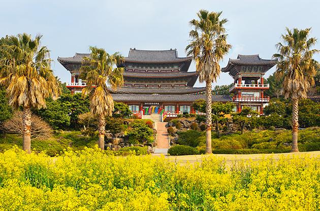 rape-flowers-at-famous-yakcheonsa-buddhist-temple-jeju-Rape Flowers At Famous Yakcheonsa Buddhist Temple Jeju