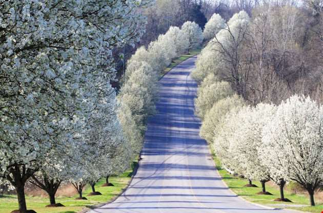 Spring Blossoms On A Line Of Fruit Trees In Nashville-Spring Blossoms On A Line Of Fruit Trees In Nashville