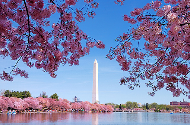 cherry-blossom-washington-monument-Cherry Blossom Washington Monument