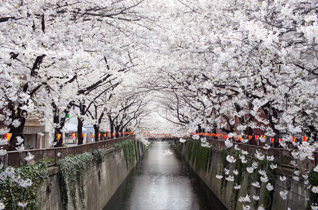 beautiful-cherry-blossom-tunnel-over-river-Beautiful Cherry Blossom Tunnel Over River