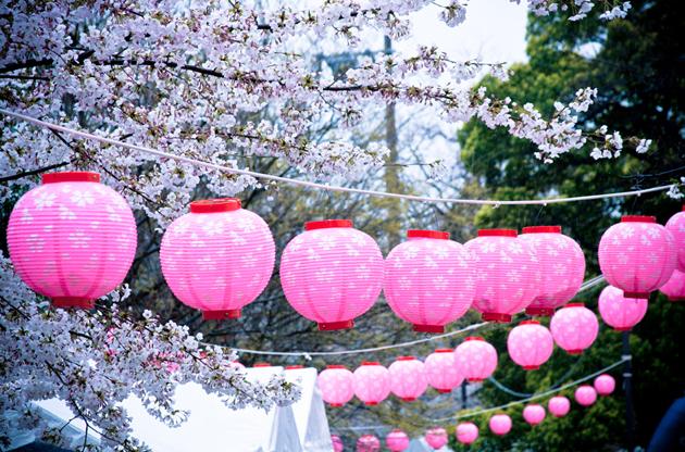 japanese-lanterns-on-cherry-blossom-tree-Japanese Lanterns On Cherry Blossom Tree