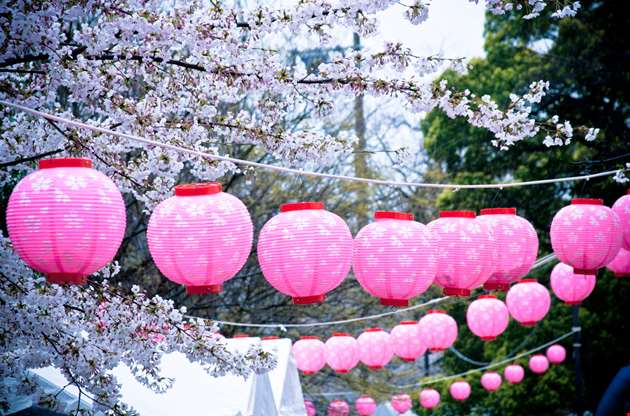 japanese-lanterns-on-cherry-blossom-tree-Japanese Lanterns On Cherry Blossom Tree