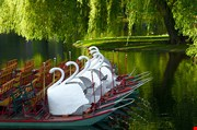 swan-boats-at-the-boston-public-garden-Swan Boats At The Boston Public Garden