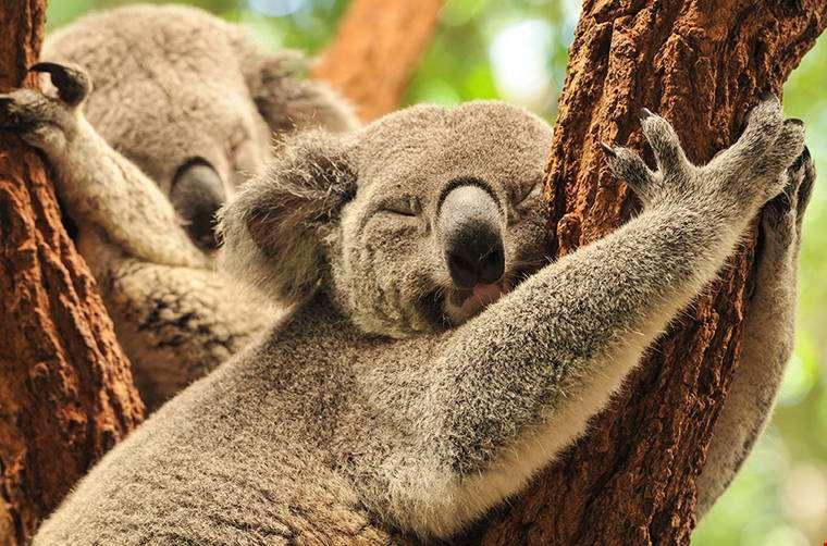 sleeping-koalas-Sleeping Koalas